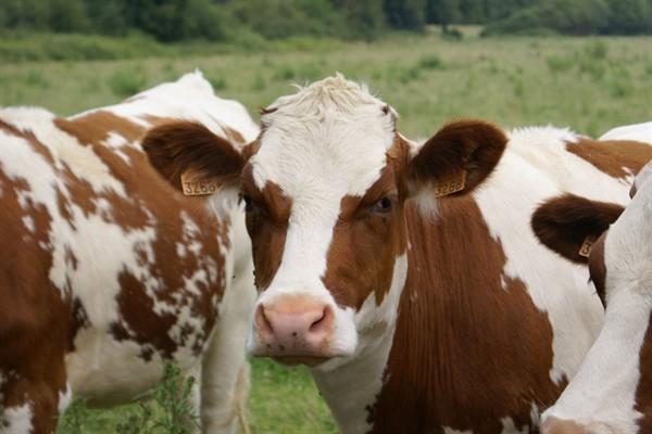 Симментальская порода коров фото с описанием