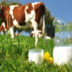 Сколько литров молока дает одна корова в день
