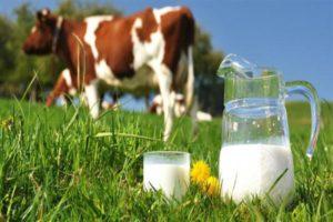 Сколько корова дает молока в сутки