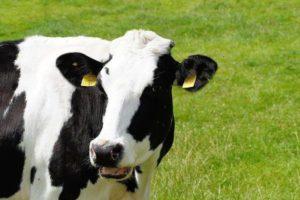 Сколько желудков у коровы описание