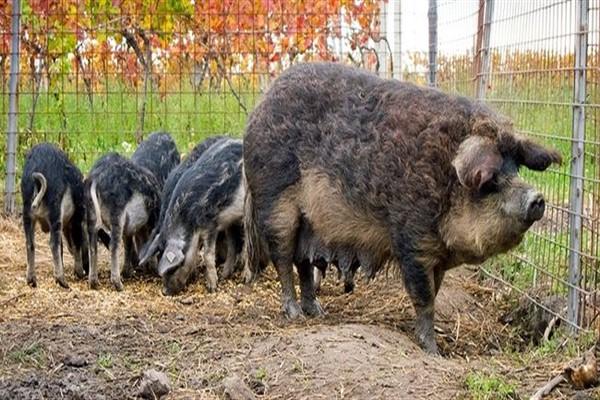 Свинья мангалица содержание и разведение