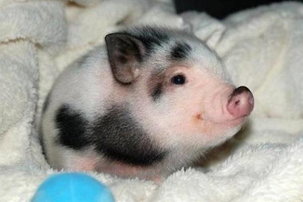 Содержание декоративных свинок фото