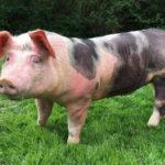 Как содержать мясную породу свиней пьетрен, ее особенности