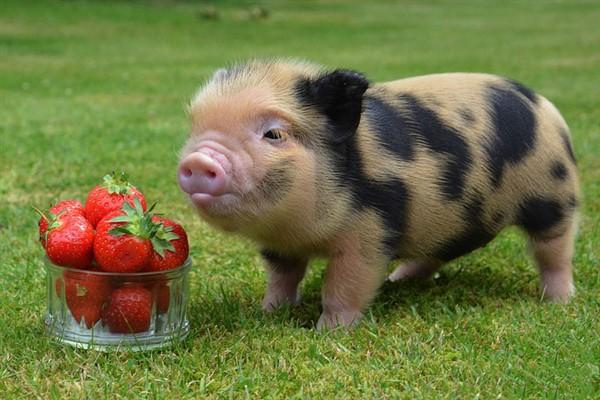 Уход за декоративными свинками