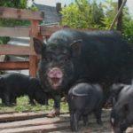 Вислобрюхие вьетнамские свиньи выращивание и содержание