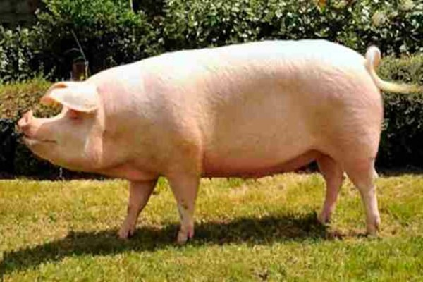 Ландрас порода свиньи