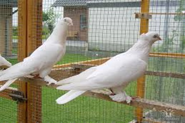 Андижанские бойные голуби фото