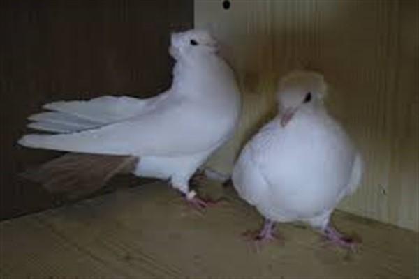 Бакинские бойные голуби фото