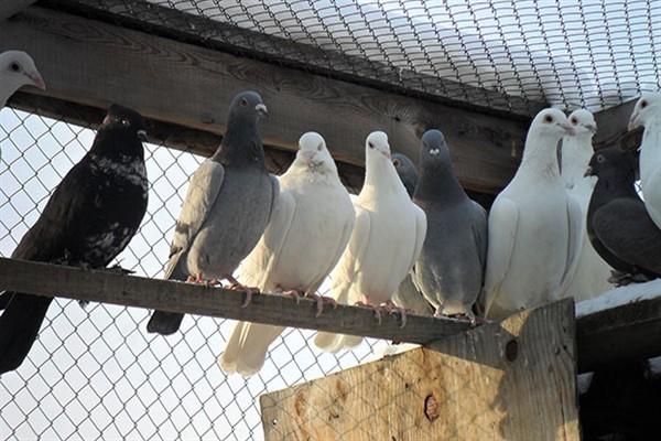 Бойные голуби дома фото