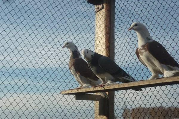 Чебаркульские бойные голуби фото