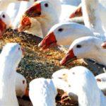 Кормление домашних гусей