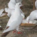 Чем питаются голуби разнообразных пород
