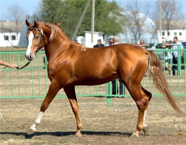 Донские лошади фото