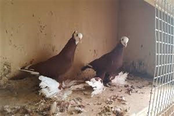 Георгиевские голуби фото