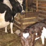 Признаки родов и отел коровы