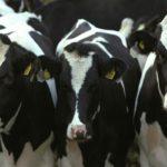 Описание черно пестрой породы коров