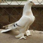 Разновидности бойных голубей