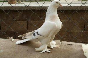 Иранские бойные голуби фото