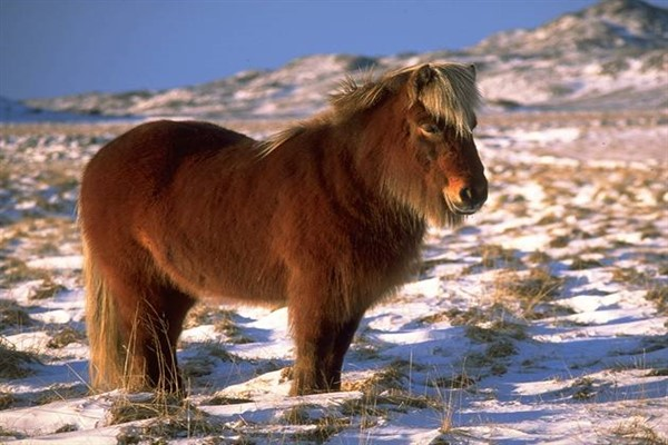 Исландская рыжая фото