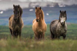 Лошадь исландской породы