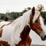 Описание пегой лошади