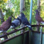 Как вывести голубей в квартирах и в частных секторах