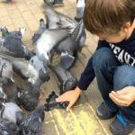 Как словить голубя своими руками