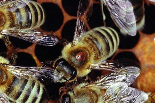 Обработка пчел щавелевой кислотой