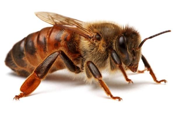 Сколько живет  матка пчелы