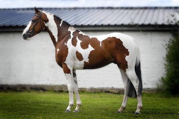 Лошадь Америка пейнтхорс