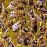 Какая продолжительность жизни у пчел