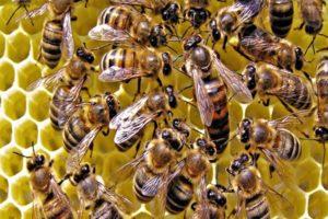 Сколько живут рабочие пчелы