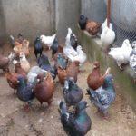 Разведение и  содержание голубей, их болезни и лечения