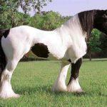 Лошадь Шайр пород-тяжеловозов