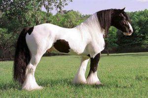 Шайр порода лошадей фото