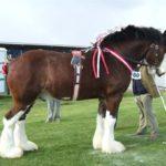 Самые крупные лошади в мировой истории фото и описание