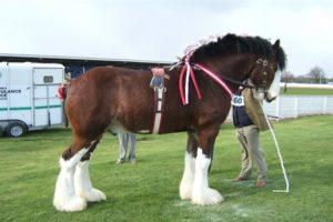 Самая большая порода лошадей тяжеловозов фото