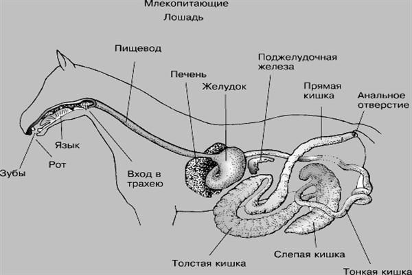 Система пищеварения
