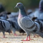 Сколько лет живут уличные и домашние голуби
