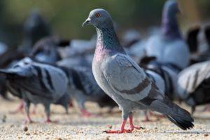 Сколько живут голуби в среднем