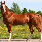 Тракененская лошадь характеристика и описание