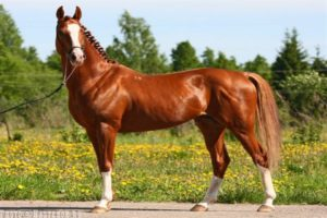 Содержание Тракененской породы лошадей