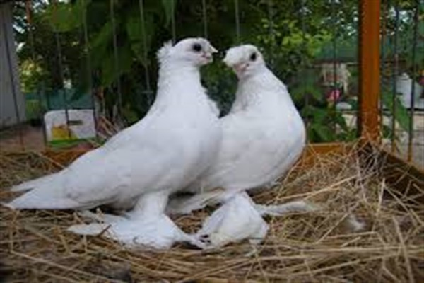Узбекские голуби фото
