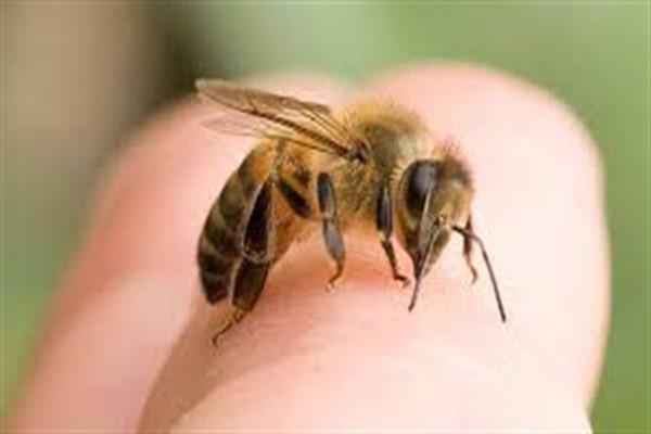 Сколько живет пчела после укуса