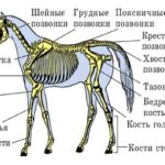 Строение лошади подробное описание с фото
