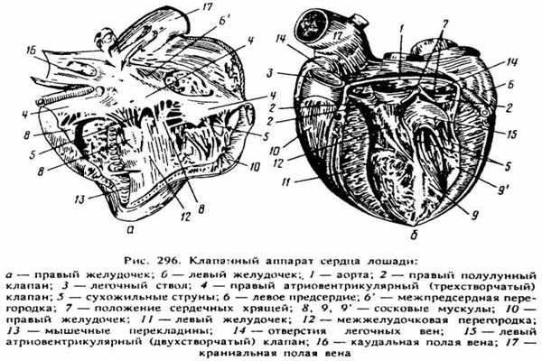 Сердечно – сосудистая система