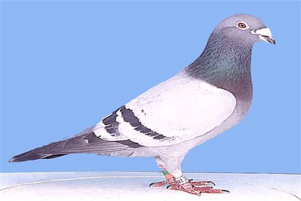 Почтовые или спортивные голуби фото