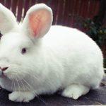 Мясные кроли – вкусное мясо и прибыльный бизнес