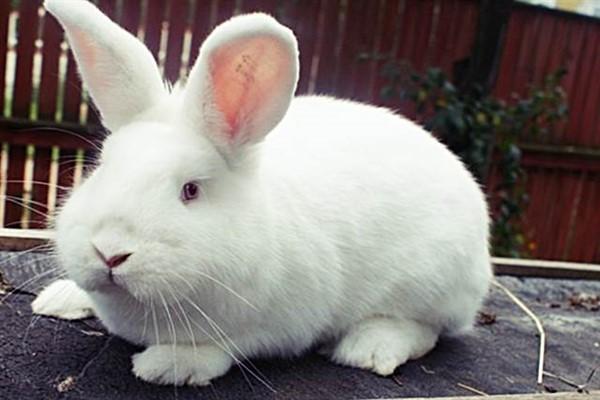 Новозеландский кроль