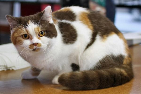 Биколор окраса кошки